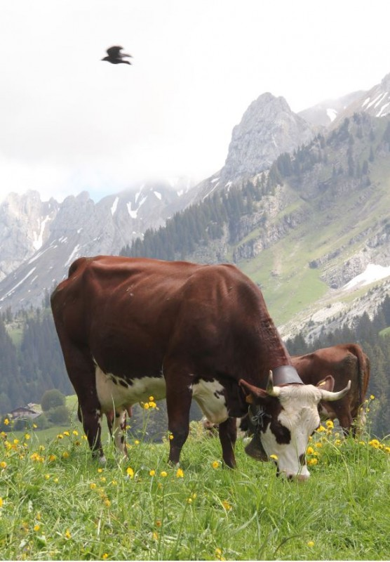 cow-vet-35597